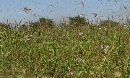 Swarm of locusts terrorise Ruacana